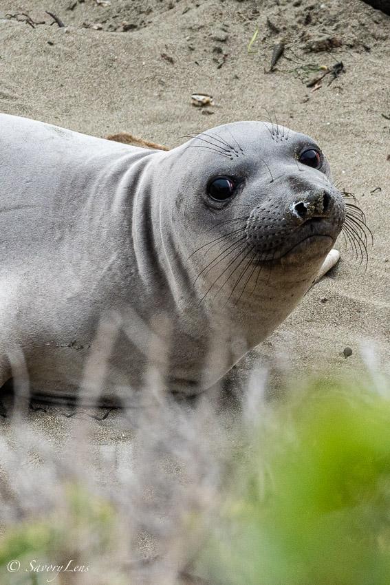 San Simeon, Elephant Seal Viewing